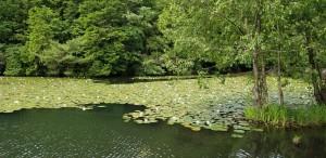 ③稲田園の水連(会本新池)